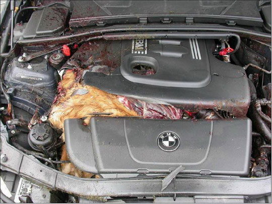 Bad Car Accidents With Deer Www Pixshark Com Images Galleries With A Bite